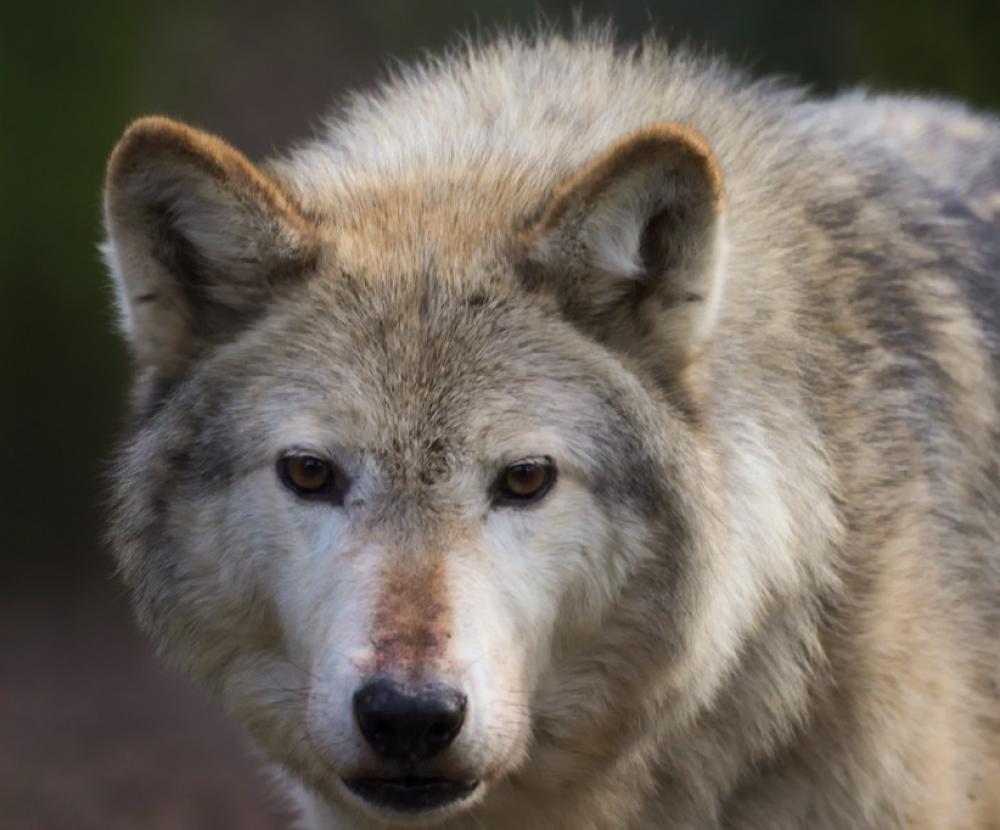 Волки в Каменском районе и Свердловской области: доказательства местных жителей и отрицания егерей