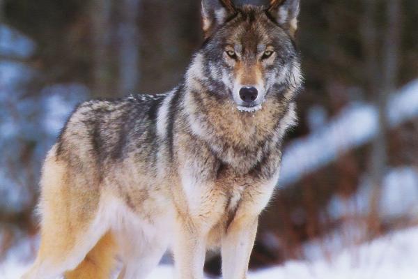 Слухи о волках, которые едят под Каменском-Уральским собак, не подтвердились...
