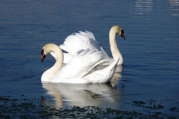 В окрестностях Каменска-Уральского видели лебедей. Они могут остаться у нас до осени...