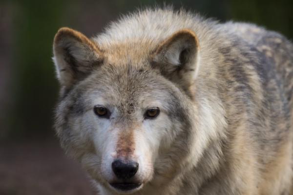 Волки в Каменском районе и Свердловской области: доказательства местных жителей и отрицания егерей...